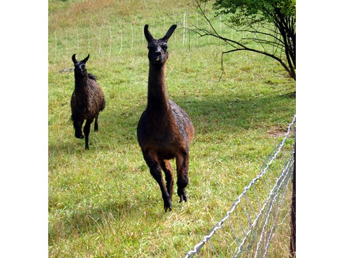 Riverbank Farm Border Cheviots Sheep / Nigerian Dwarf Goats