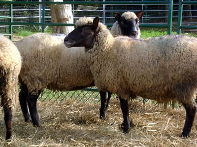 2014_Clun_Forest_Sheep_Riverbank-Farm