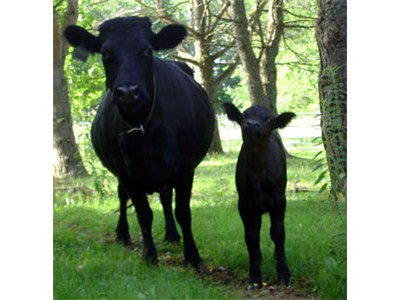 2014_Dexter-with-calf_Riverbank-Farm