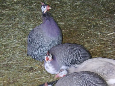 Riverbank_Farm_Guina_hens